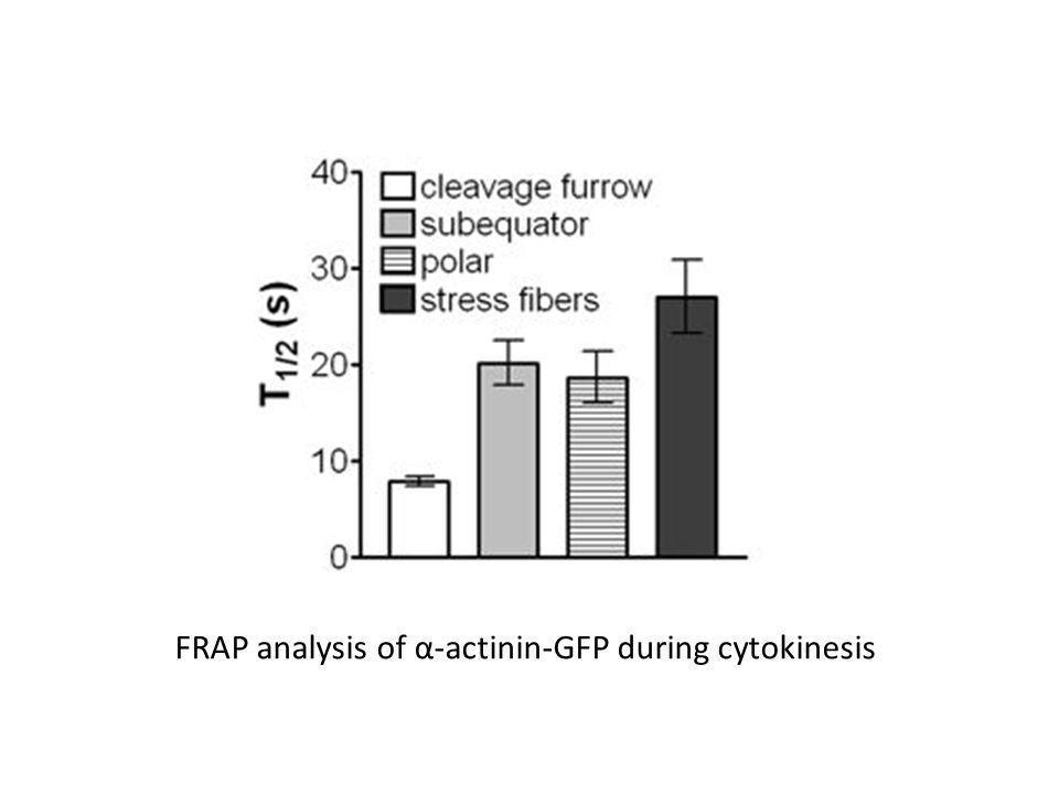 FRAP analysis of α-actinin-GFP during cytokinesis