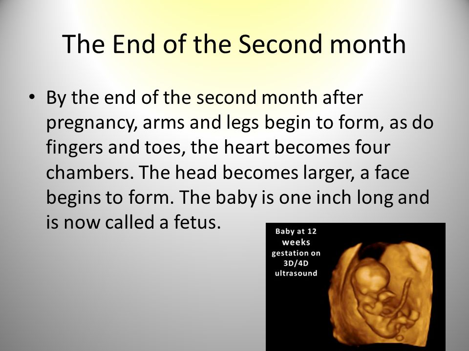 The End of the Second month By the end of the second month after pregnancy, arms and legs begin to form, as do fingers and toes, the heart becomes fou