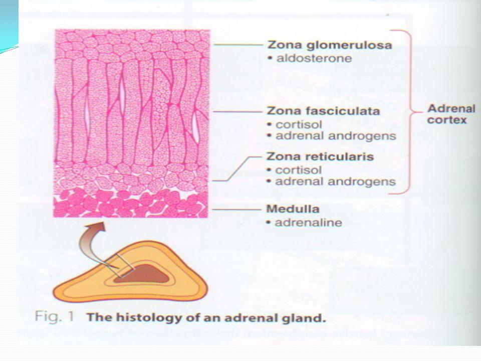The adrenal cortex makes 3 kinds of hormones: Mineralocorticoids Glucocorticoids Androgens