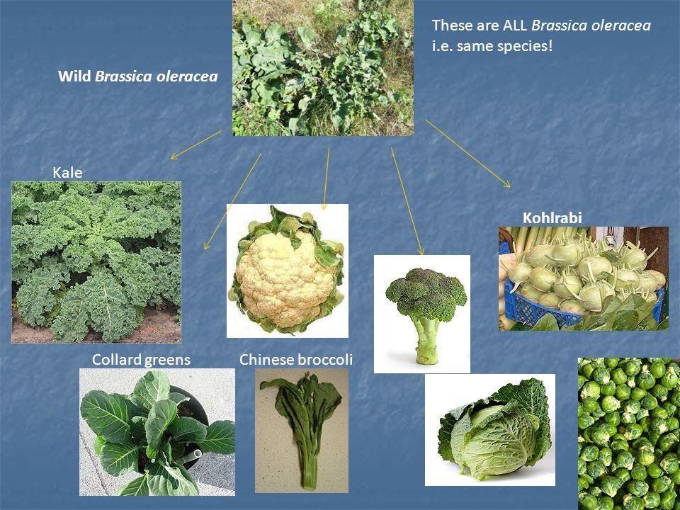 Wild Brassica oleracea Kale Collard greensChinese broccoli Kohlrabi These are ALL Brassica oleracea i.e. same species!