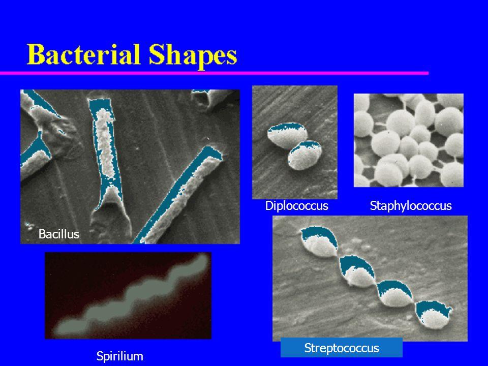Streptococcus DiplococcusStaphylococcus Bacillus Spirilium
