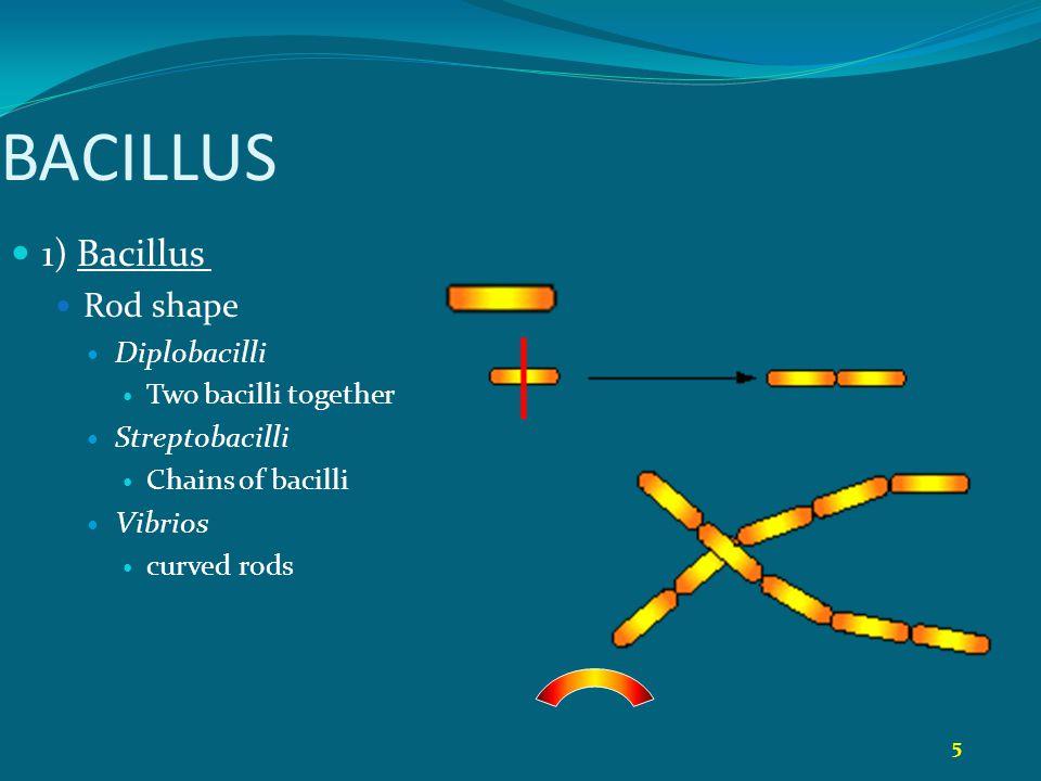 5 BACILLUS 1) Bacillus Rod shape Diplobacilli Two bacilli together Streptobacilli Chains of bacilli Vibrios curved rods