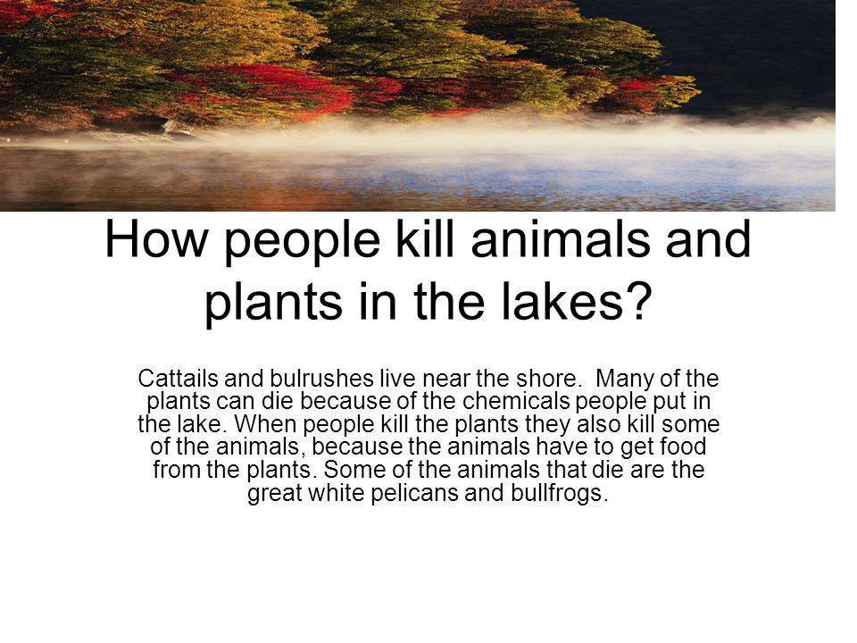 How people kill animals and plants in the lakes? Cattails and bulrushes live near the shore. Many of the plants can die because of the chemicals peopl