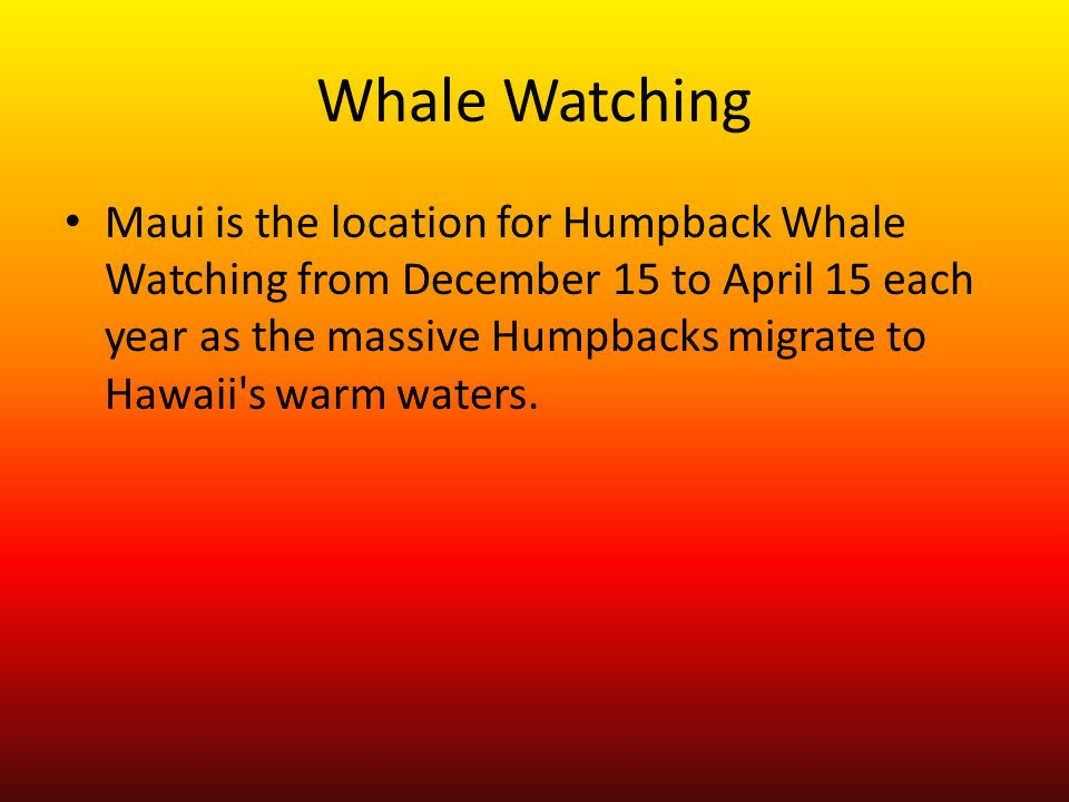 Whale Watching Maui is the location for Humpback Whale Watching from December 15 to April 15 each year as the massive Humpbacks migrate to Hawaii's wa