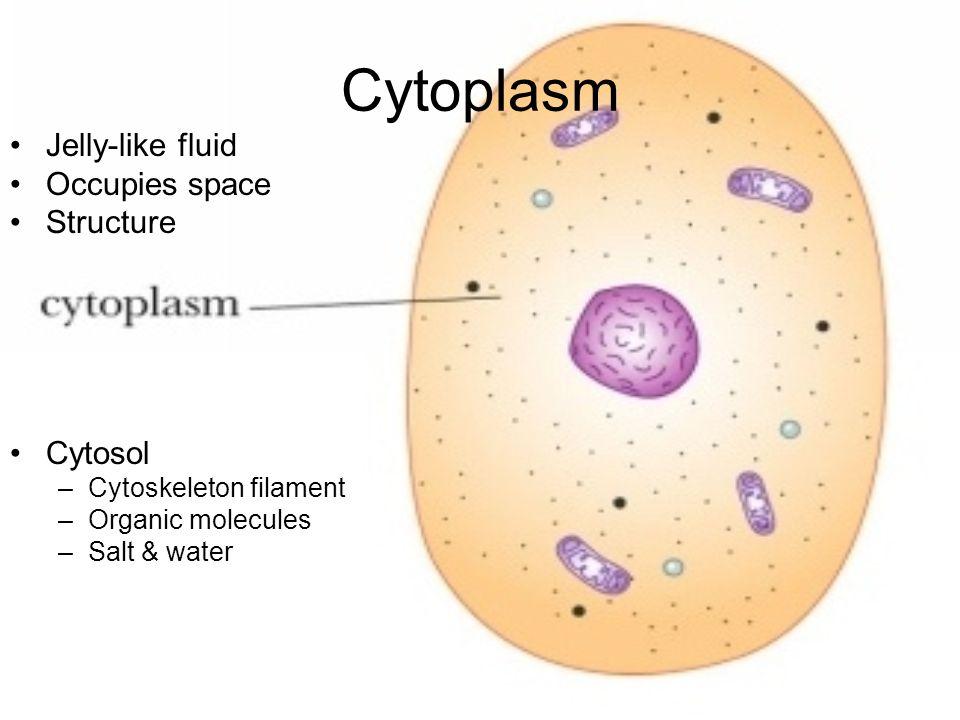 Cytoplasm Jelly-like fluid Occupies space Structure Cytosol –Cytoskeleton filament –Organic molecules –Salt & water