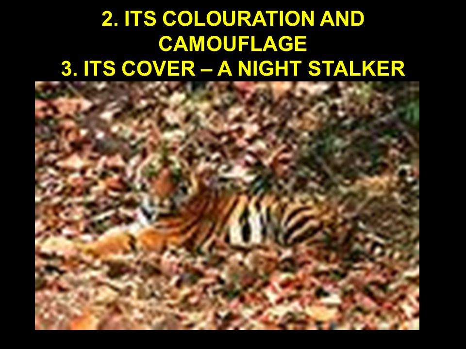 2. ITS COLOURATION AND CAMOUFLAGE 3. ITS COVER – A NIGHT STALKER