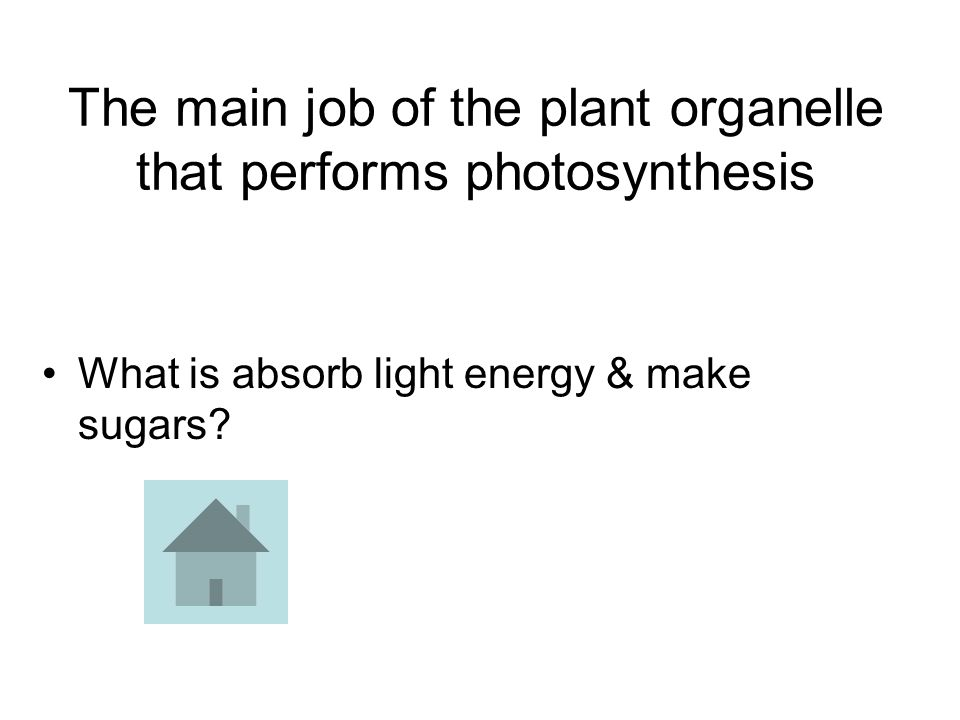 The main job of the plant organelle that performs photosynthesis What is absorb light energy & make sugars?