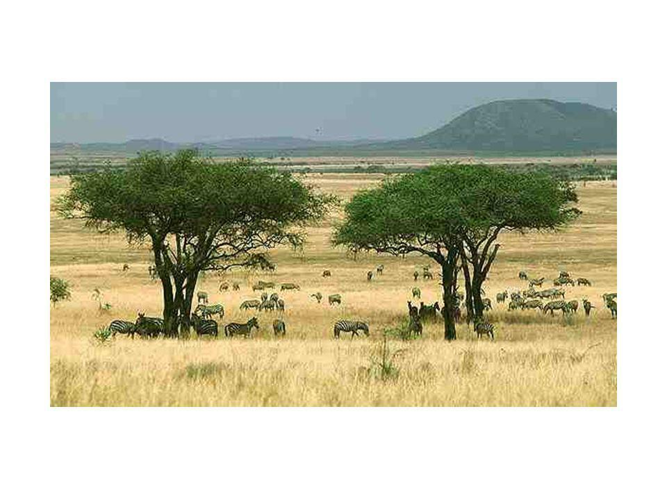 African Geography Savannas are rolling grassland and scattered trees and shrubs totaling to about 4.5 million miles in the African country. The Sereng