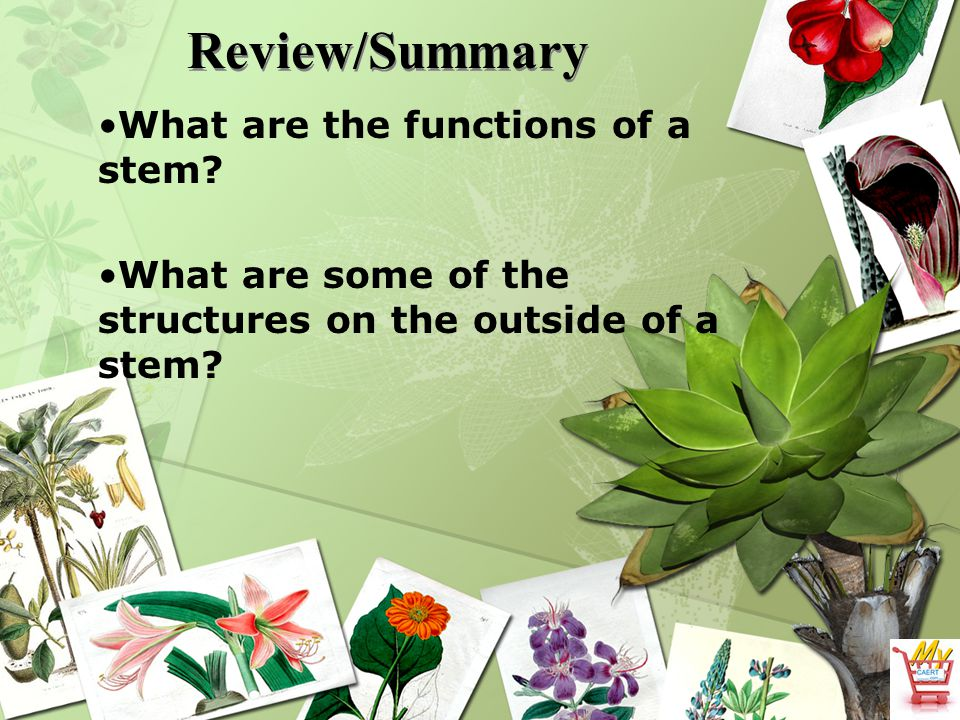 Review/Summary What are the functions of a stem? What are some of the structures on the outside of a stem?