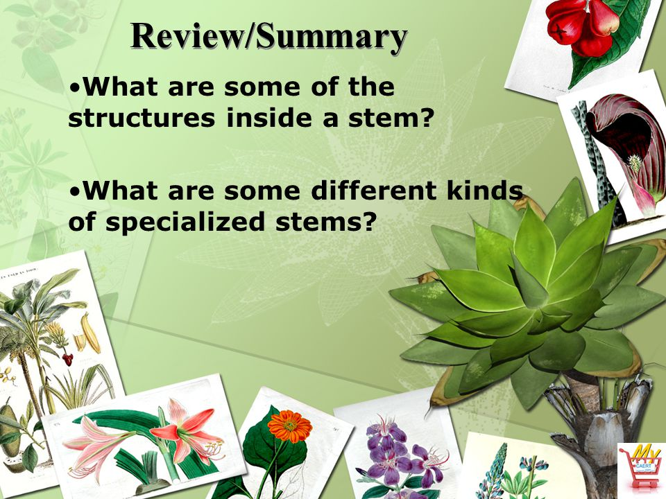 Review/Summary What are some of the structures inside a stem? What are some different kinds of specialized stems?
