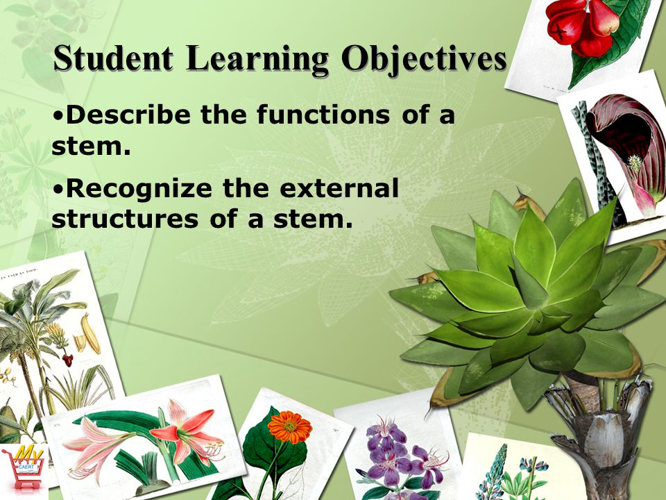 Student Learning Objectives Describe the functions of a stem. Recognize the external structures of a stem.