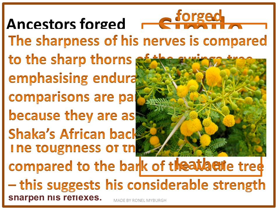 Ancestors forged his muscles into thongs as tough as wattle bark and nerves as sharp as syringa thorns. The fourth stanza looks at his nerves and musc