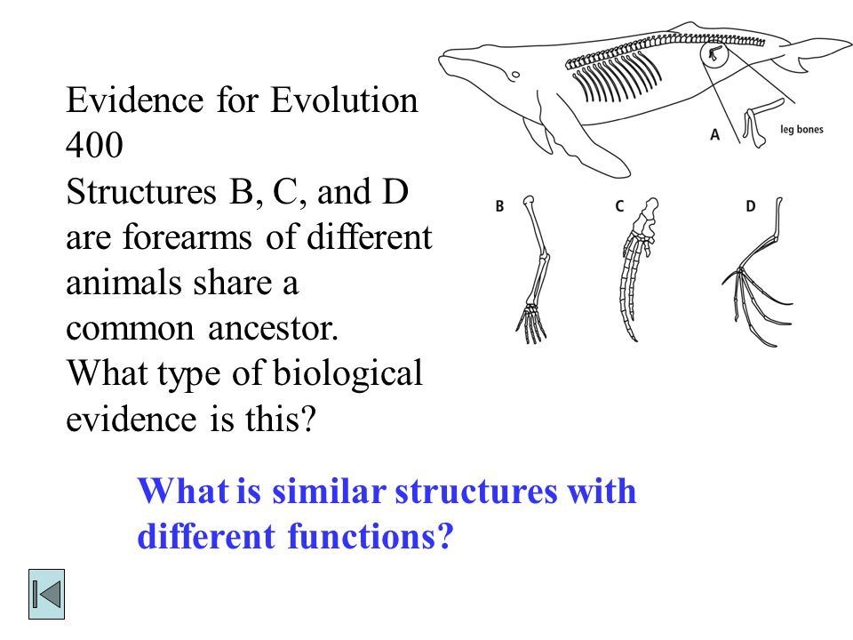 Evidence for Evolution 300 This is why structure A in the diagram to the right is an example of a vestigial organ. What is the whale leg is a structur