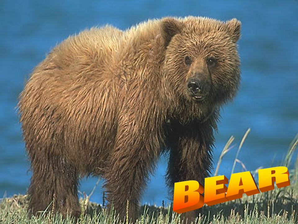It is a wild animal. It is brown. It is very big. It lives in Russia. They live in the forests. They eat berries and honey. They also eat fish.