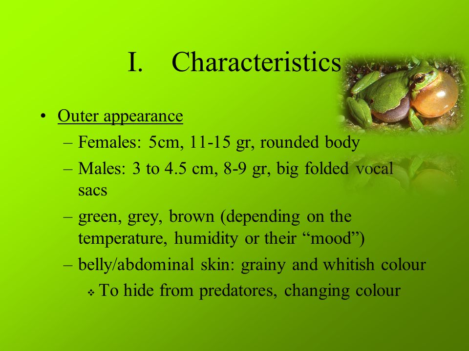 I.Characteristics Outer appearance –Females: 5cm, 11-15 gr, rounded body –Males: 3 to 4.5 cm, 8-9 gr, big folded vocal sacs –green, grey, brown (depending on the temperature, humidity or their mood ) –belly/abdominal skin: grainy and whitish colour  To hide from predatores, changing colour