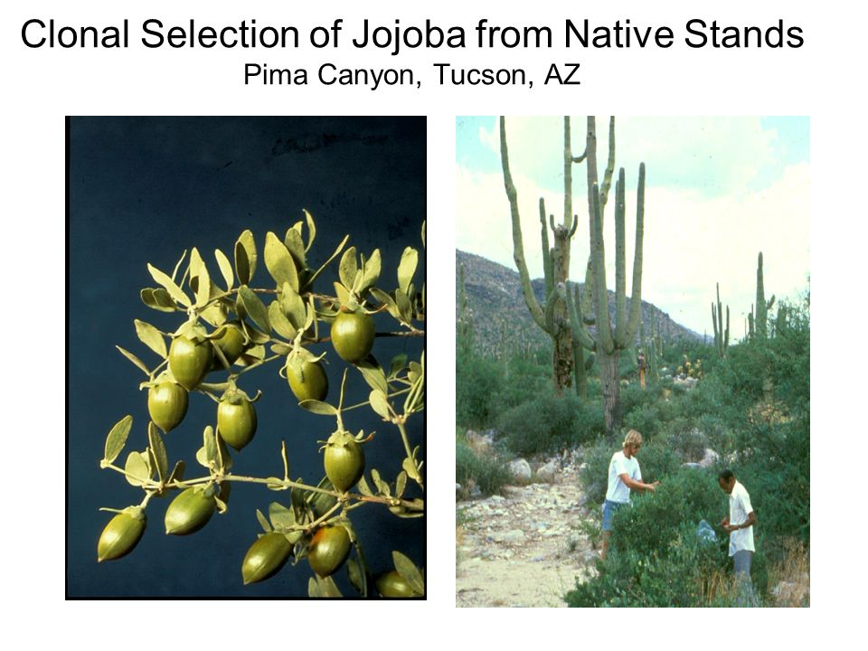 Clonal Selection of Jojoba from Native Stands Pima Canyon, Tucson, AZ