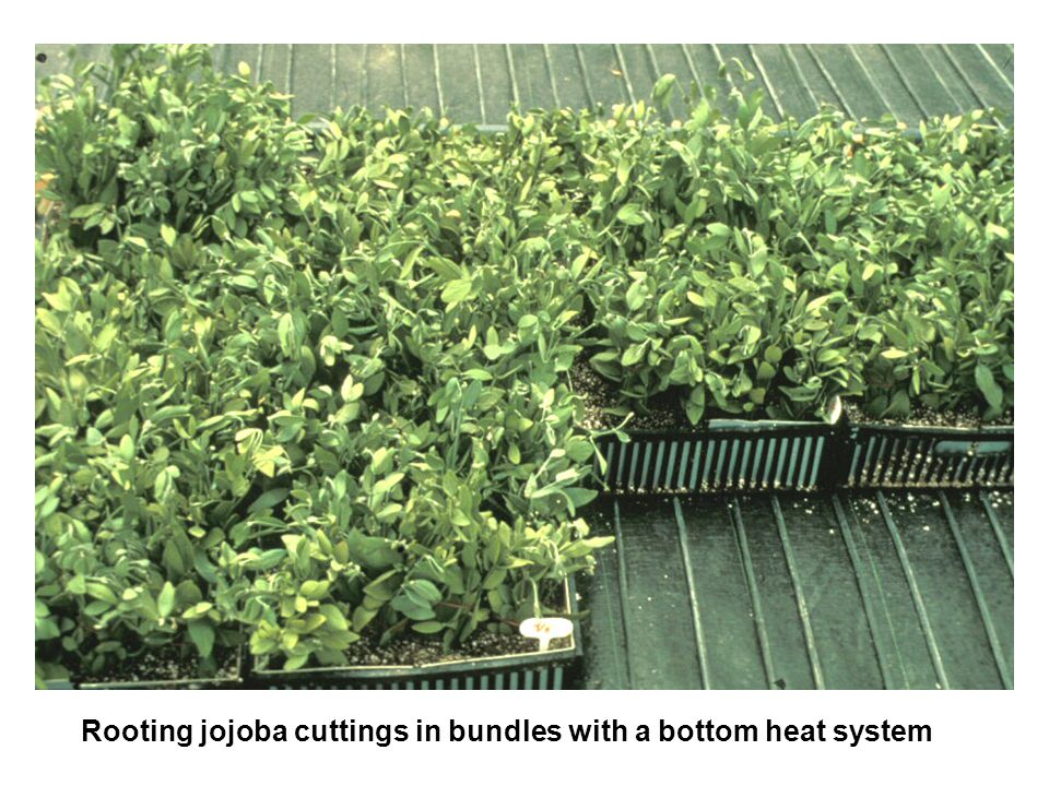 Rooting jojoba cuttings in bundles with a bottom heat system