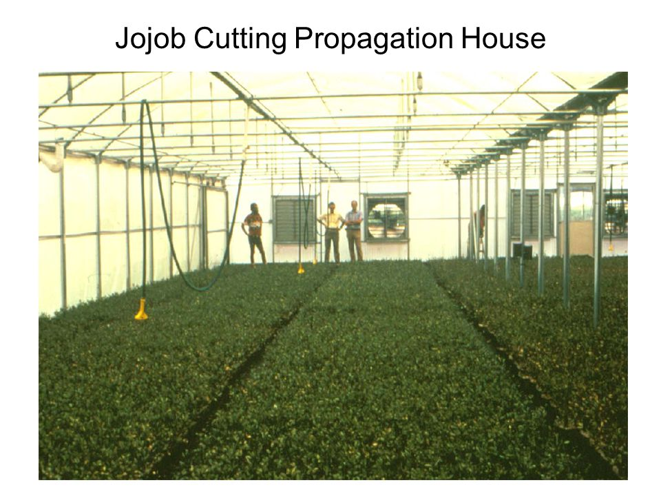 Jojob Cutting Propagation House