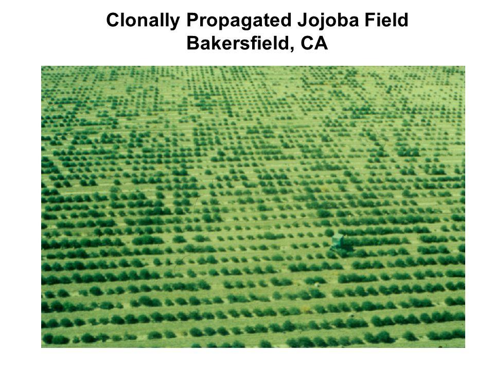 Clonally Propagated Jojoba Field Bakersfield, CA