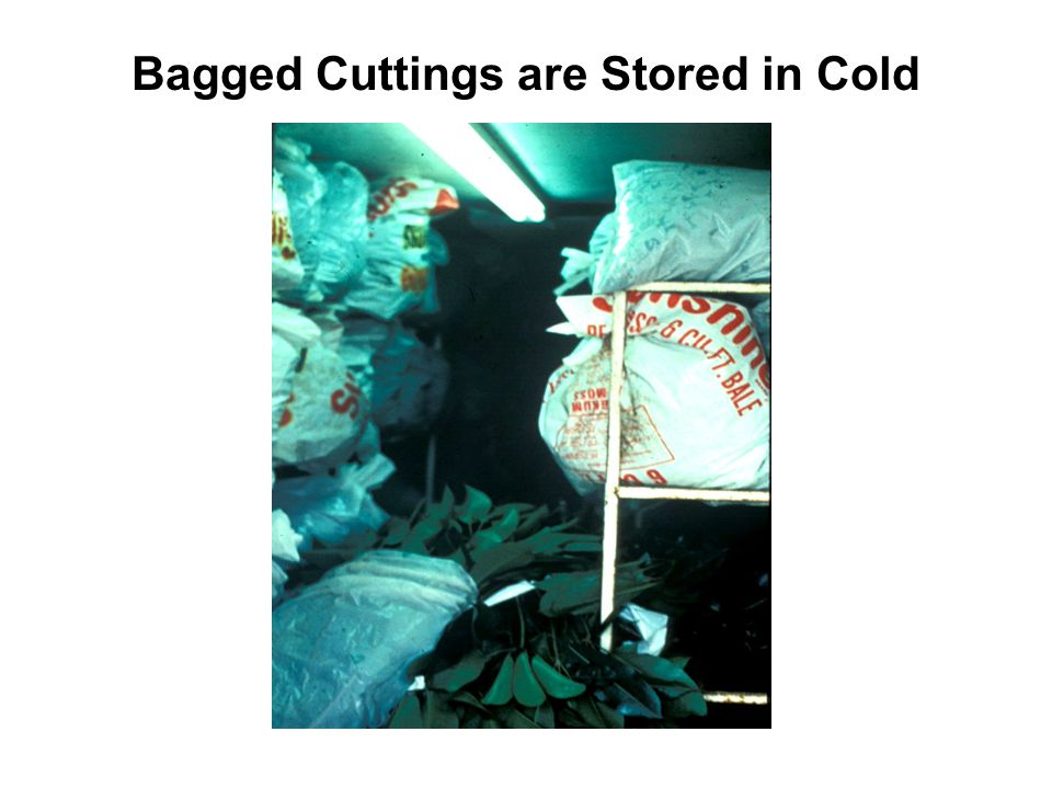 Bagged Cuttings are Stored in Cold