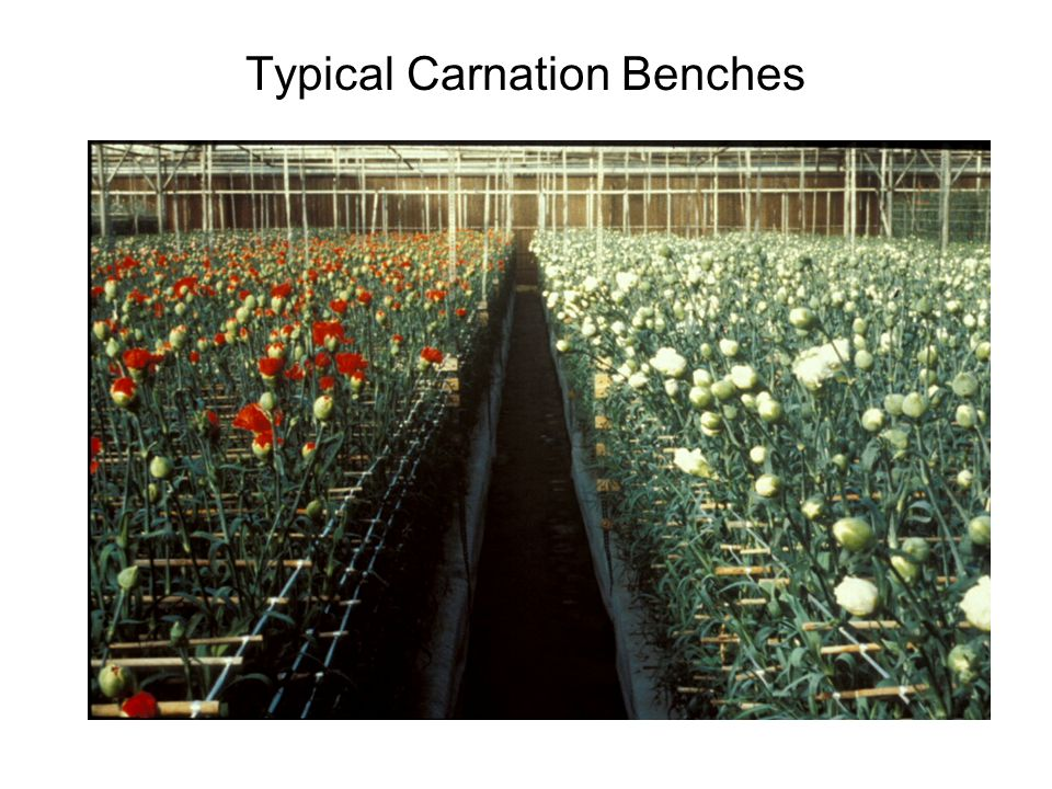 Typical Carnation Benches