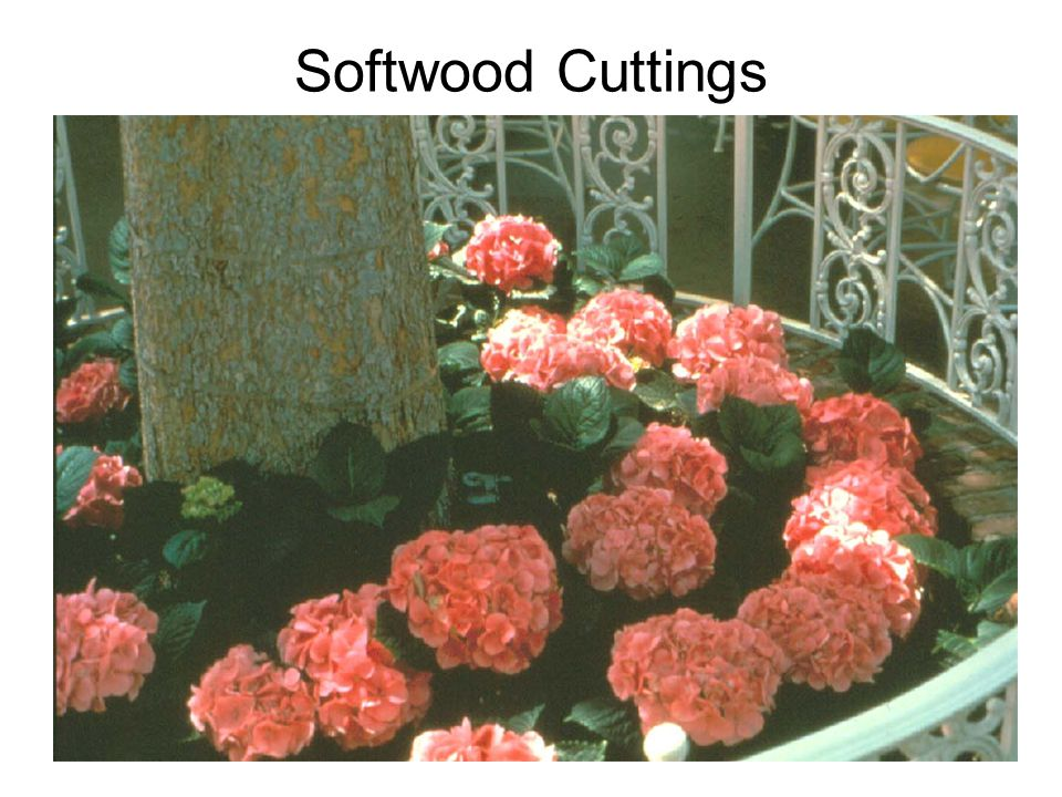 Shoftwood Cuttings - Hydrangea Butterfly cutting (top) Double-eye single node cutting (middle) Single-eye single node cuttings (bottom)