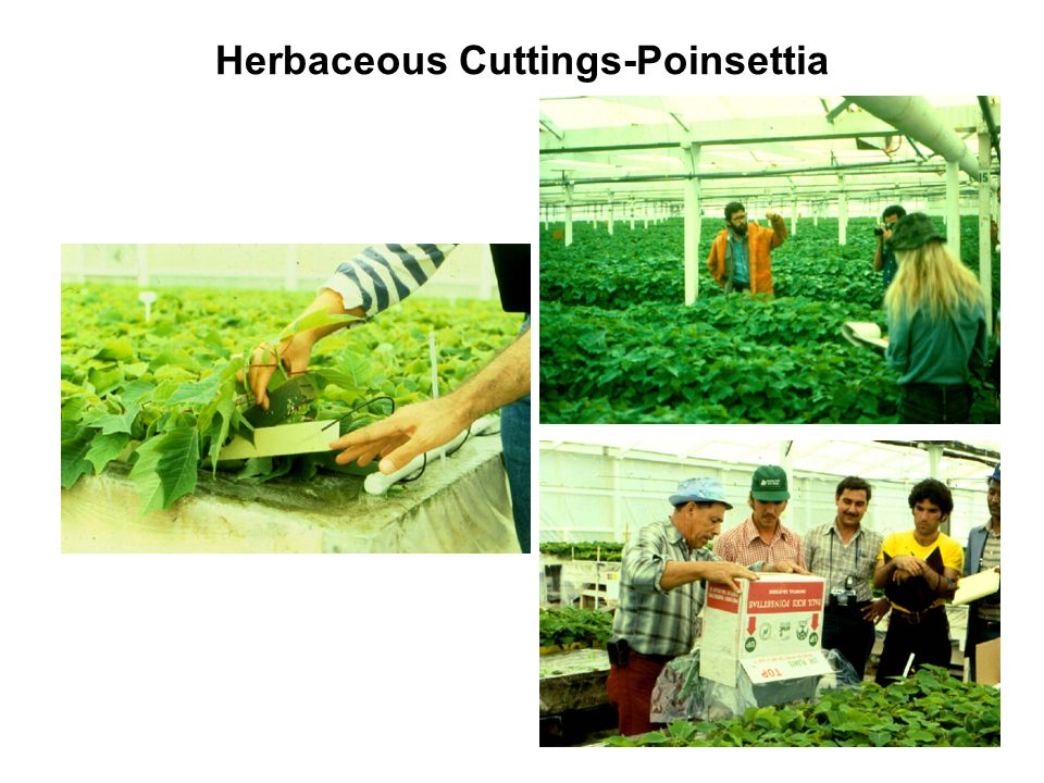 Herbaceous Cuttings-Poinsettia