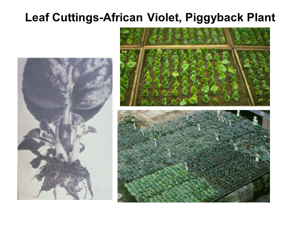 Leaf Cuttings-African Violet, Piggyback Plant