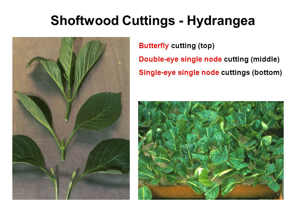 Shoftwood Cuttings - Hydrangea Butterfly cutting (top) Double-eye single node cutting (middle) Single-eye single node cuttings (bottom)