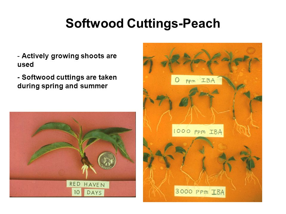 Softwood Cuttings-Peach - Actively growing shoots are used - Softwood cuttings are taken during spring and summer