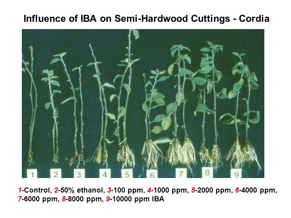 Semi-Hardwood Cuttings - Jojoba Treating cuttings in IBA Solution (top) Sticking IBA-treated cuttings in root substrate (bottom)