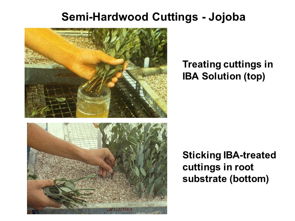 Semi-Hardwood Cuttings - Jojoba Treating cuttings in IBA Solution (top) Sticking IBA-treated cuttings in root substrate (bottom)