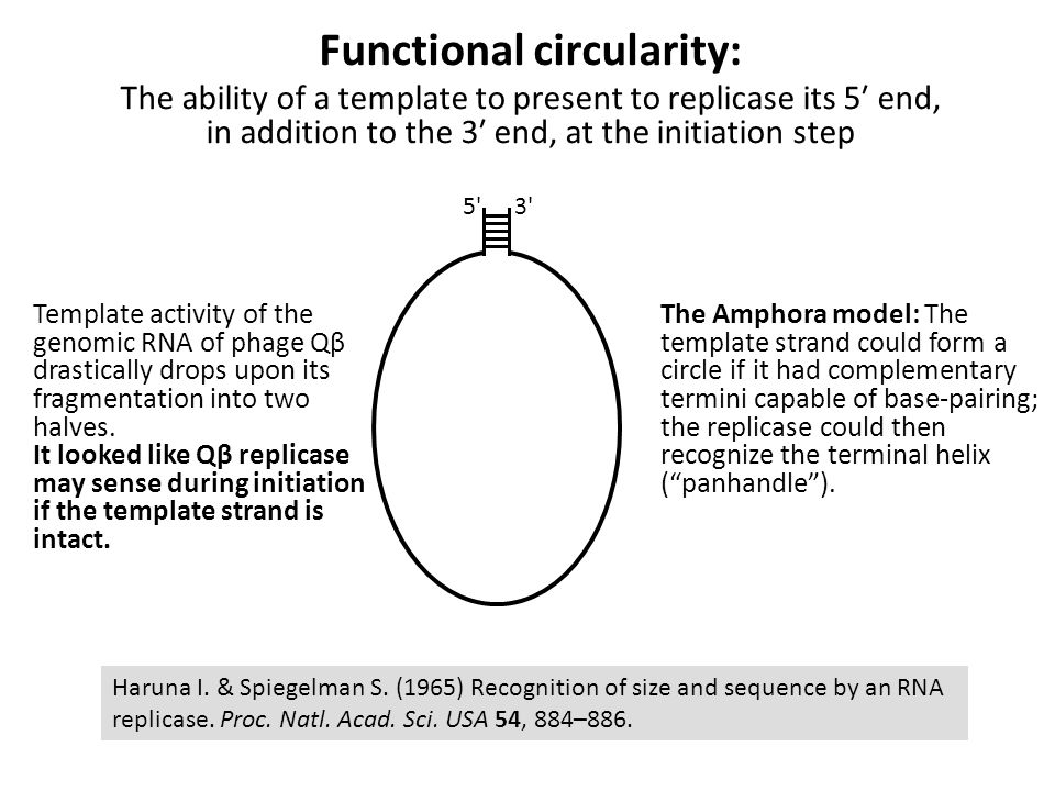 Functional circularity: The ability of a template to present to replicase its 5′ end, in addition to the 3′ end, at the initiation step Haruna I.