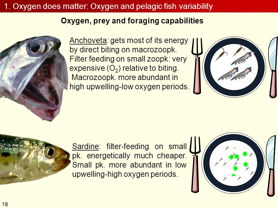 1. Oxygen does matter: Oxygen and pelagic fish variability Oxygen, prey and foraging capabilities Anchoveta: gets most of its energy by direct biting
