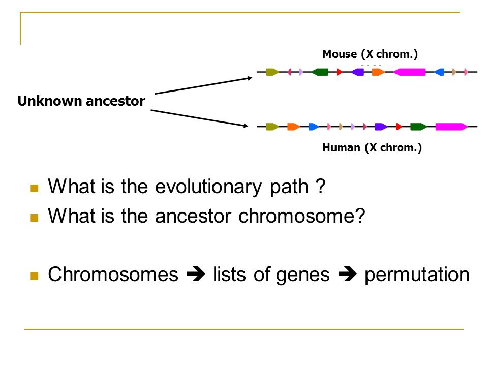 What is the evolutionary path . What is the ancestor chromosome.