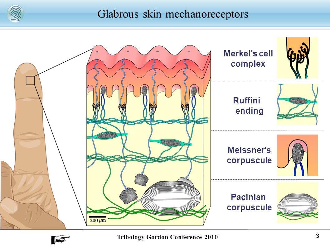 Glabrous skin mechanoreceptors Merkel's cell complex Meissner's corpuscule Pacinian corpuscule Ruffini ending 3