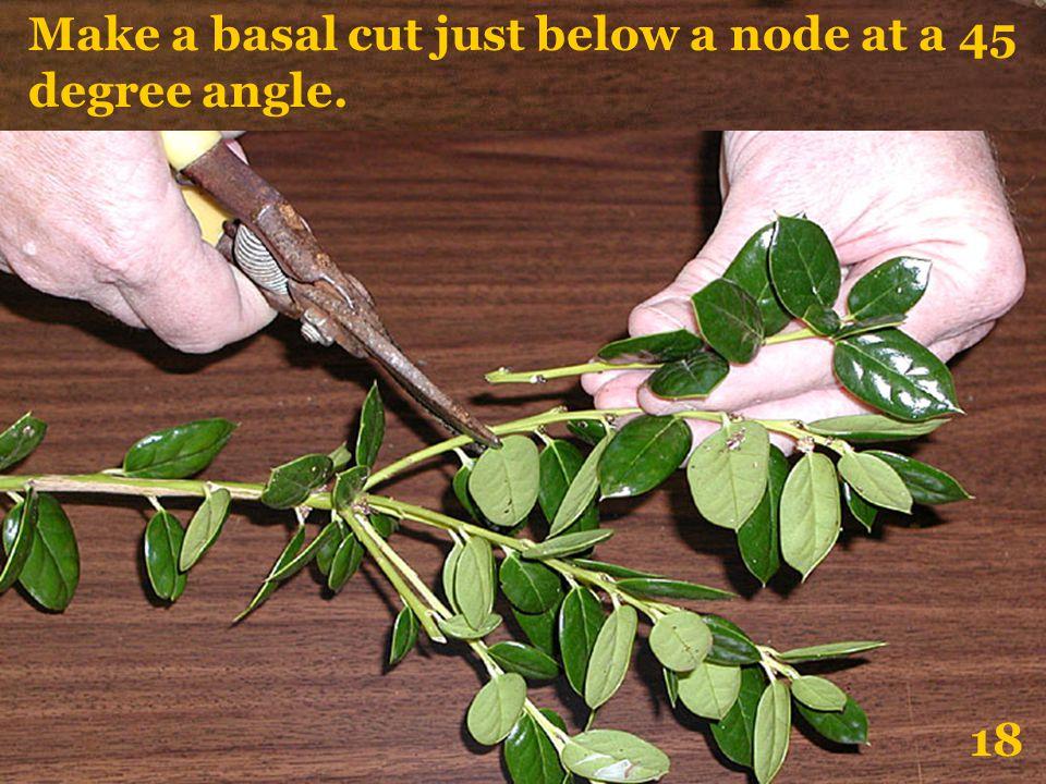 Make a basal cut just below a node at a 45 degree angle. 18