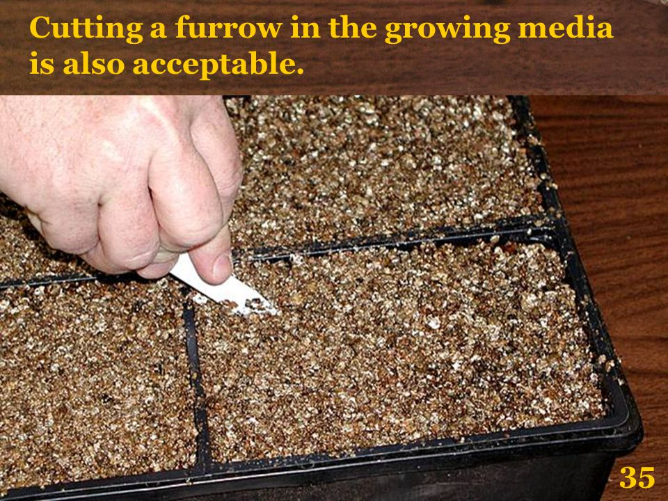 Cutting a furrow in the growing media is also acceptable. 35