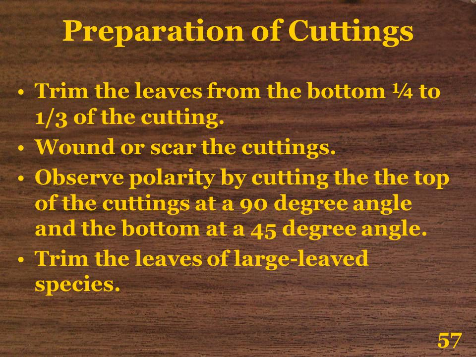 Preparation of Cuttings Trim the leaves from the bottom ¼ to 1/3 of the cutting. Wound or scar the cuttings. Observe polarity by cutting the the top o