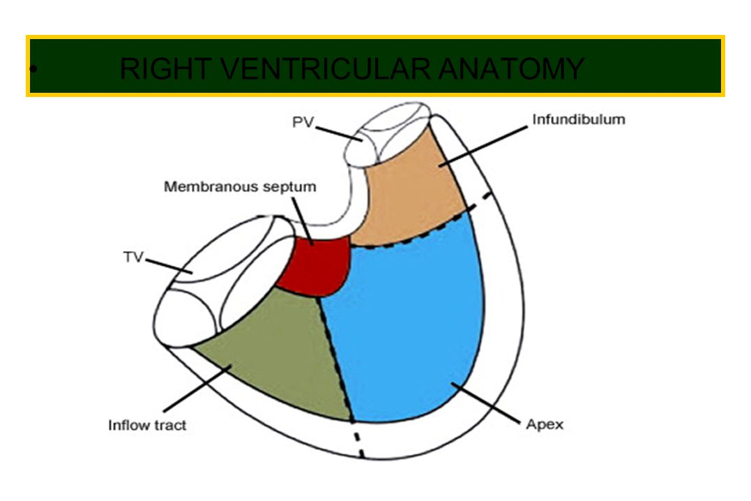 RIGHT VENTRICULAR ANATOMY