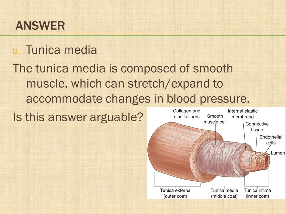ANSWER b. Tunica media The tunica media is composed of smooth muscle, which can stretch/expand to accommodate changes in blood pressure. Is this answe