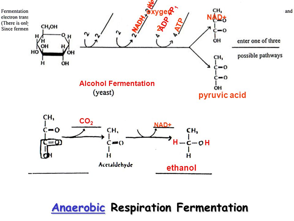 AerobicAerobic Respiration Aerobic matrix mitochondria pyruvic acid CO 2 NADH H+ CoAacetyl oxaloacetic acid citric acid CoA CO 2 NADH H+ ATP FADH 2 matrix mitochondria oxaloacetic acid pyruvic acid return to summary 1 4 1 2 8 2 CoA 2nd pyruvic acid Krebs Cycle (TCA) Citric Acid Cycle CoA recycles for 2 nd Pyruvic Acid and 2 nd turn of the Krebs Cycle