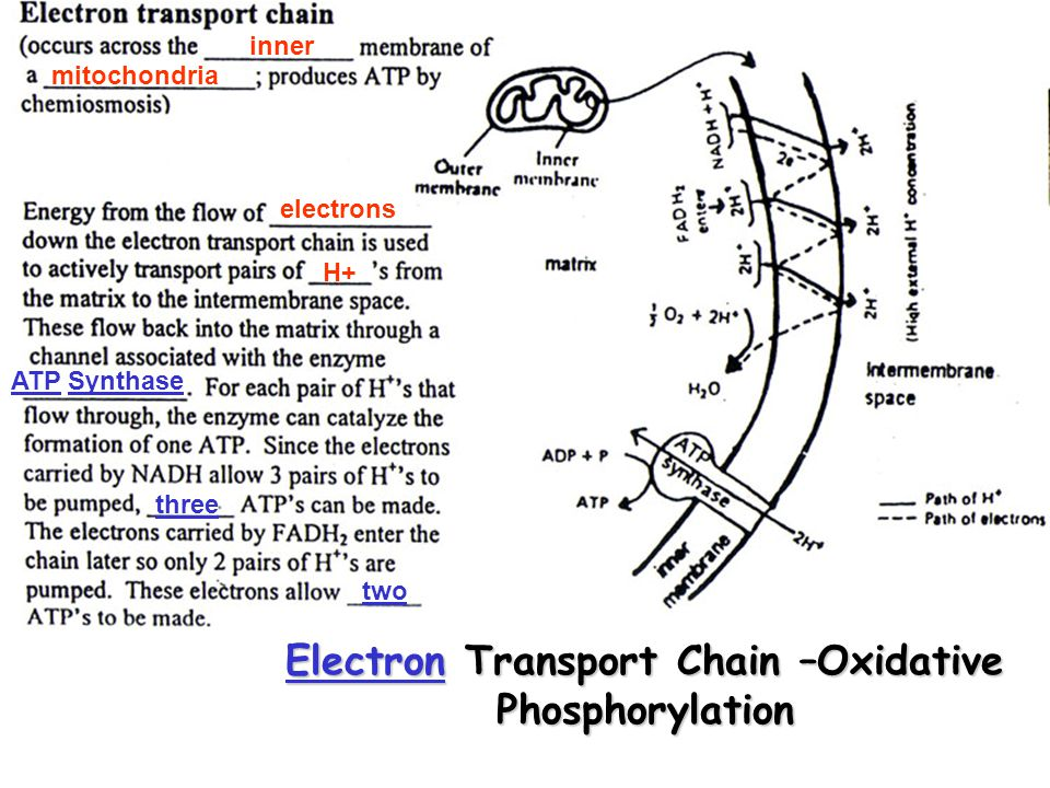 inner mitochondria electrons H+ ATPATP SynthaseSynthase three two ElectronElectron Transport Chain –Oxidative Phosphorylation Electron