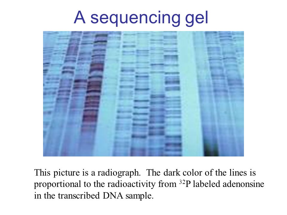 A sequencing gel This picture is a radiograph. The dark color of the lines is proportional to the radioactivity from 32 P labeled adenonsine in the tr