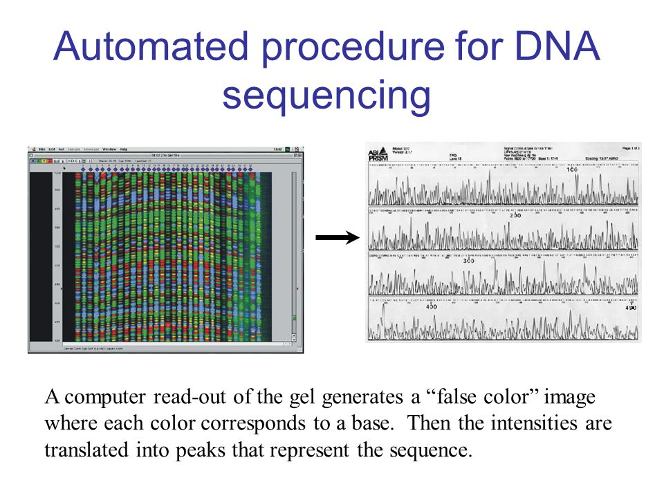 "Automated procedure for DNA sequencing A computer read-out of the gel generates a ""false color"" image where each color corresponds to a base. Then the"