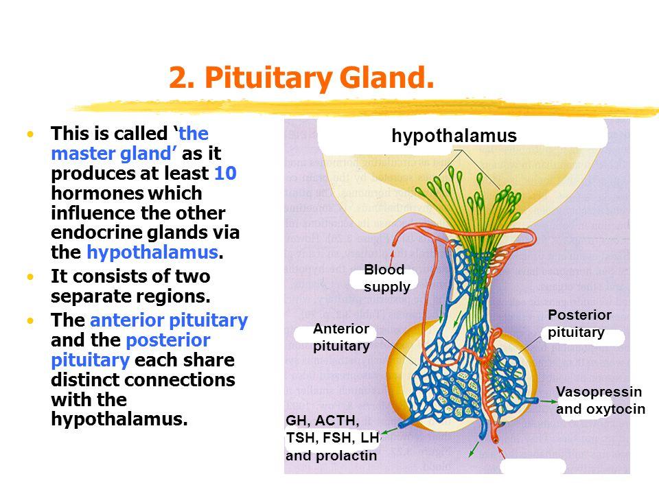 2.Pituitary Gland.