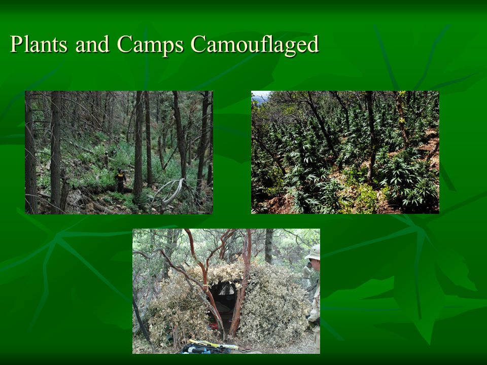 Plants and Camps Camouflaged