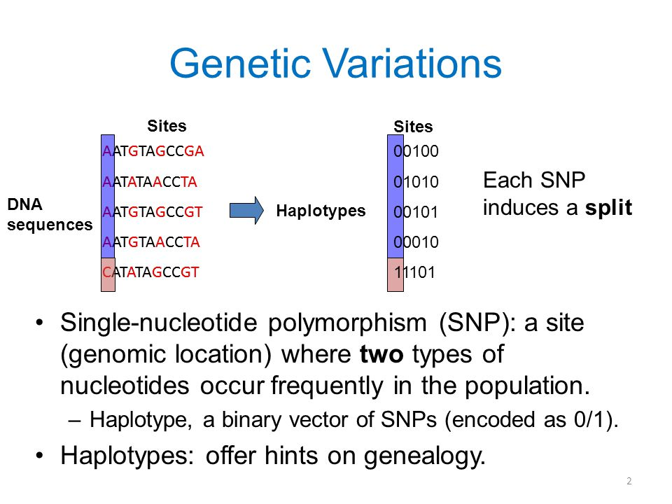 2 Genetic Variations Single-nucleotide polymorphism (SNP): a site (genomic location) where two types of nucleotides occur frequently in the population.