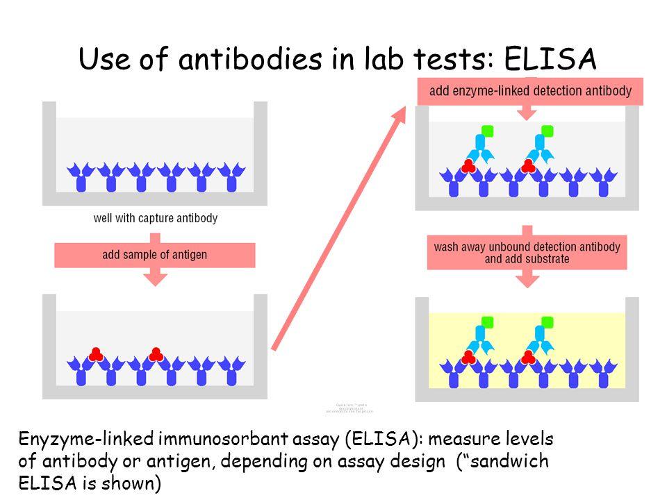 "Use of antibodies in lab tests: ELISA Enyzyme-linked immunosorbant assay (ELISA): measure levels of antibody or antigen, depending on assay design (""s"
