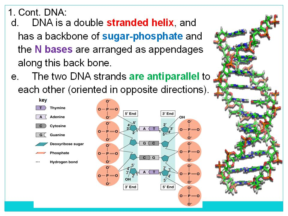 A piece of chrA broken pi MUTATIONS MAY INVOLVE LARGER SEGMENTS OF DNA